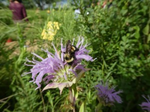 An elusive rusty patched bumble bee on a bee balm flower, in a photography by Sarah Foltz Jordan, Xerces Society
