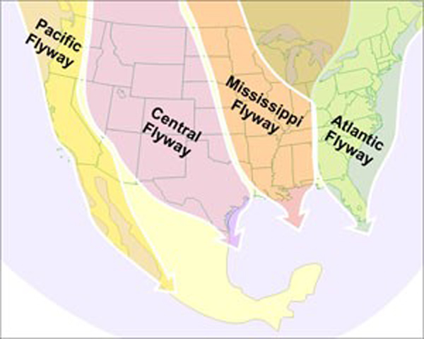 The U.S. is comprised of four distinct migratory flyways that are used by birds to travel from breeding to wintering grounds and back. Click here to watch the tracking of 118 bird species migration patterns in the Western hemisphere. Note that some birds do not fly south the same way they fly north. Image courtesy of U.S. Fish & Wildlife Service.