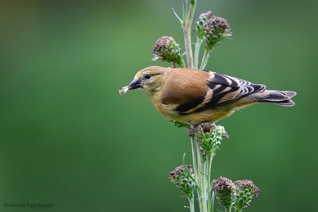 "Goldfinch with seeds of the meadow blazing star. Historic Pilot Knob is located within an Important Bird Area (IBA). The goal of the IBA program, according to the National Audubon Society, is to ""ensure the survival of wild bird populations through the identification and protection of their most important habitats.""    (photo courtesy of Travis Bonovsky)"