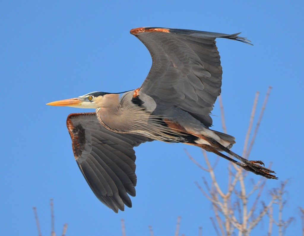 The adult great blue heron can have a wingspan of up to seven feet in length. In the winter, these birds migrate to ice-free coastal areas and waterways in the southeast United States, as well as the Caribbean. Photo courtesy of Travis Bonovsky